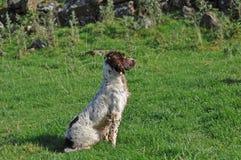 在一个领域的西班牙猎狗在鸭子射击 免版税库存照片