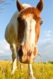在一个领域的逗人喜爱的马在丹麦 免版税库存图片