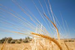 在一个领域的金黄大麦耳朵在Ayios Sozome离开的村庄  免版税库存图片