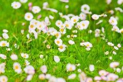 在一个领域的雏菊在绽放 免版税库存照片