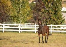 在一个领域的马与白色篱芭和树 免版税库存图片