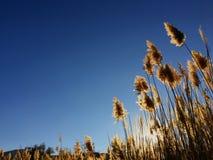 在一个领域的高南美大草原Cortaderia草在落日和蓝天的背景 明亮的晴朗的夏天照片 金黄的耳朵 图库摄影