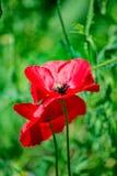 在一个领域的鸦片与红色花 免版税库存照片