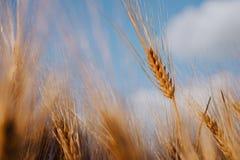 在一个领域的麦子耳朵与蓝天和云彩在背景中 库存照片