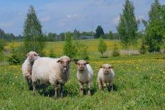 在一个领域的绵羊在夏日 库存图片
