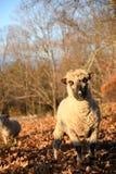 在一个领域的绵羊在早晨 图库摄影