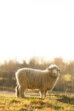 在一个领域的绵羊在清早 图库摄影
