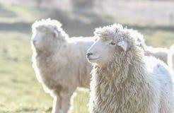 在一个领域的绵羊在清早 免版税库存照片