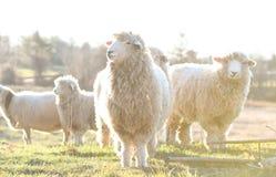 在一个领域的绵羊在清早 免版税库存图片
