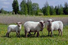 在一个领域的绵羊在草 免版税库存图片