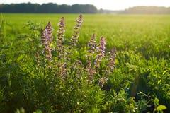 在一个领域的紫色花在日出 库存图片