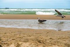 在一个风雨如磐的下午的海与打破在与几只海鸥的湿含沙岸的波浪 库存照片
