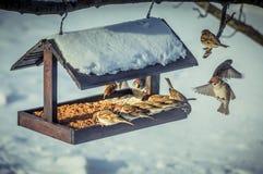 在一个饲养者的麻雀在冬天 库存照片