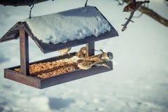 在一个饲养者的麻雀在冬天 图库摄影