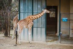 在一个饲养者附近的一头成人非洲长颈鹿用食物吃干草 在他旁边是他的水芋属黑色 库存图片