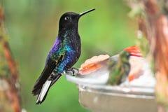 在一个饲养者的令人惊讶的蜂鸟在厄瓜多尔 免版税图库摄影