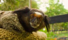 在一个马农场的一只小猴子在佛罗里达 库存照片