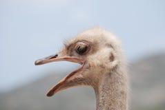 在一个驼鸟农场的嘎嘎叫的驼鸟在阿鲁巴 库存图片