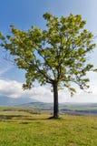 在一个高小山牧场地的偏僻的树 库存图片