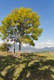 在一个高小山牧场地的偏僻的树 免版税库存照片