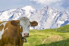 在一个高山牧场地的一头母牛 白云岩 意大利 库存照片