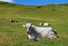 在一个高山牧场地的母牛 库存照片