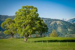 在一个高山草甸的统治树 库存照片