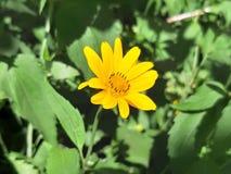 在一个高词根的黄色花 库存照片