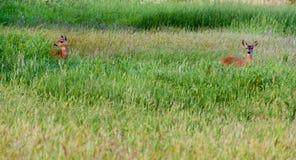 在一个高象草的领域的2头美国鹿 免版税库存照片