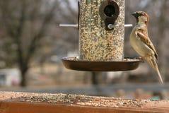 在一个鸟饲养者栖息的苗条麻雀在春天在明尼苏达 库存照片