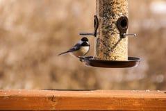 在一个鸟饲养者栖息的黑加盖的山雀在一好日子在夏天在明尼苏达 免版税库存图片