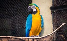 在一个鸟类保护区的蓝色黄色金刚鹦鹉鸟在印度 库存图片