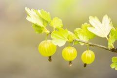 在一个鹅莓分支的新鲜和成熟有机鹅莓在庭院里 背景新绿色 免版税库存照片