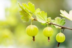 在一个鹅莓分支的新鲜和成熟有机鹅莓在庭院里 背景新绿色 库存图片