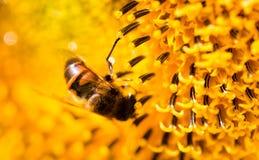 在一个黄色向日葵的一只蜂本质上 免版税库存照片