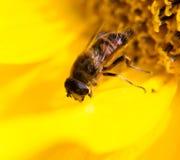 在一个黄色向日葵的一只蜂本质上 免版税库存图片