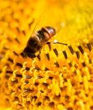 在一个黄色向日葵的一只蜂本质上 免版税图库摄影