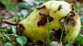 在一个黄色梨的几个黄蜂在地面 股票录像