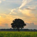 在一个黄色油菜籽领域的树 免版税库存照片