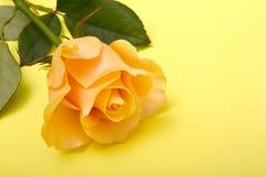 在一个黄色背景的黄色玫瑰 免版税库存图片