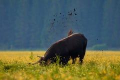 在一个黄色领域的公牛在早晨 库存图片