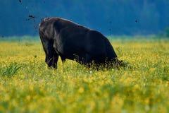在一个黄色领域的公牛在早晨 免版税库存照片