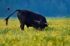 在一个黄色领域的公牛在早晨 图库摄影