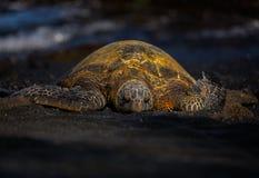 在一个黑沙子海滩的绿浪乌龟 库存图片