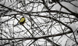 在一个黑白冬天世界的一只色的鸟 库存照片