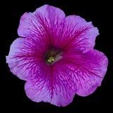 在一个黑背景被隔绝的特写镜头的美丽的精美淡紫色喇叭花花 免版税库存图片