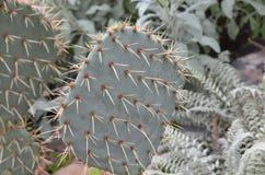 在一个仙人掌的刺在沙漠庭院里 免版税图库摄影