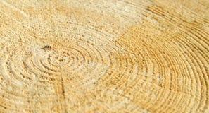 在一个击倒的树桩的蚂蚁 免版税库存图片