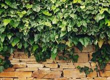 在一个质地石墙上的绿色常春藤 库存照片