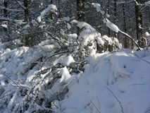 在一个晴天灌木收集太阳热,掩藏在雪下 图库摄影